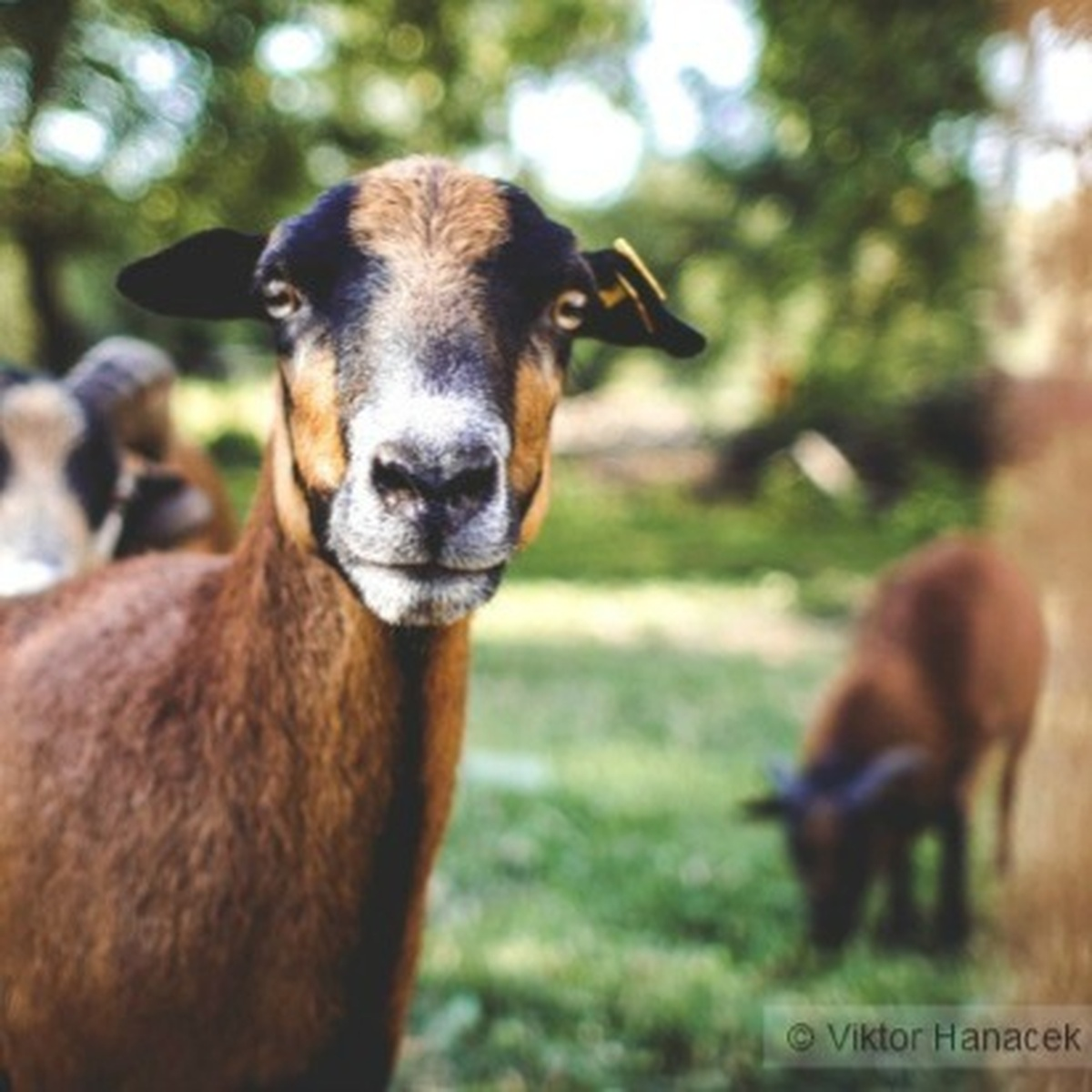 Struttin' Goats    Coolest Animals On The Farm | 101 WIXX