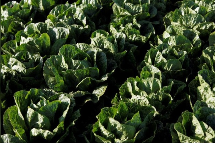 CDC: Lettuce-Linked E. Coli Outbreak Spreads To Wisconsin