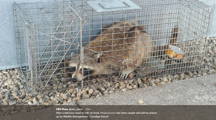 The raccoon who climbed the UBS skyscraper has been safely caught
