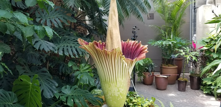 Corpse flower blooms at Grand Rapids Meijer Gardens | News | WKZO